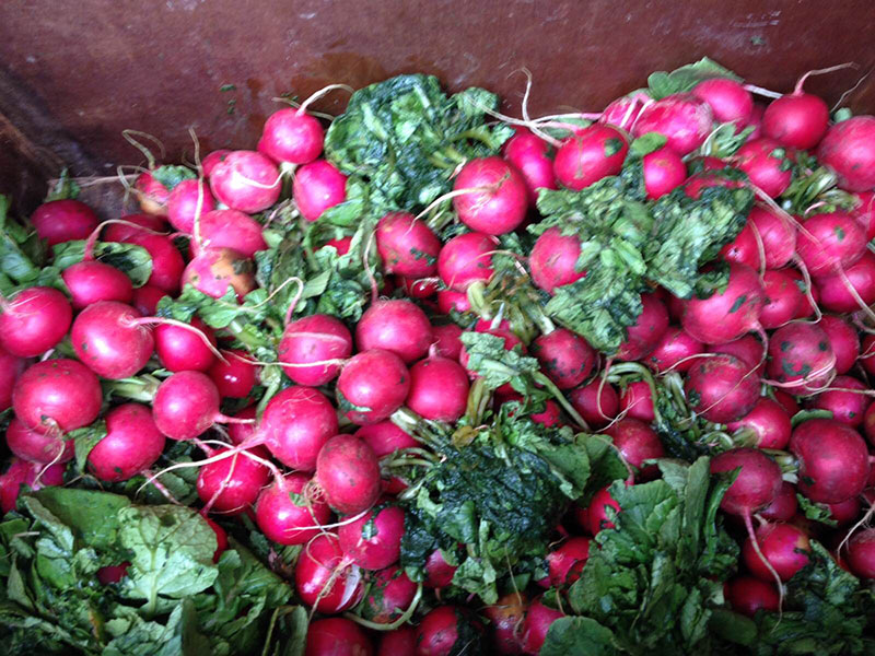 gleaned radishes